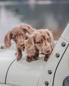 Dapple Dachshund, Long Haired Dachshund, Dachshund Puppies, Cute Dogs And Puppies, Baby Dogs, Long Haired Weiner Dogs, Long Hair Daschund, Golden Dachshund, Dachshund Clothes