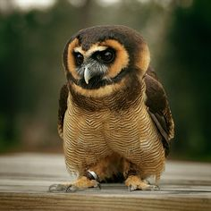 Asian Brown Wood Owl - International Centre for Birds of Prey