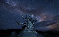 """Stemmadenia litoralis - I couldn't help but take a shot of this tree with our Milky Way. It's the oldest living organism on Earth so both just """"fit""""…"""