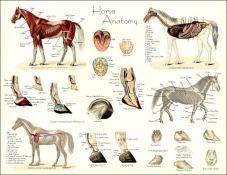 Horse Anatomy, Animal Anatomy, Skeleton Anatomy, Animal Skeletons, Horse Camp, Pet Vet, Animal Science, Horse Training, Large Animals