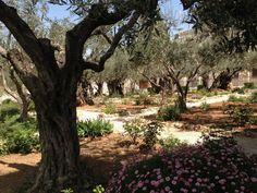 Garden of Gethsemane, eastern Jerusalem, Israel Israel Trip, Israel Travel, Gift From Heaven, Jerusalem Israel, Was, Garden Trees, Holy Land, Places Ive Been, Places To Visit