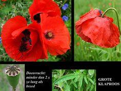 Grote Klaproos - Papaver rhoeas. - Foto gemaakt door pinterester Adri v.d.S - Bord Wilde Rode bloemen - Red wildflowers