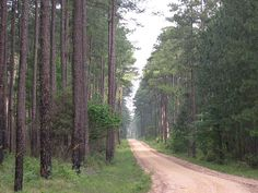 Louisiana pine forest