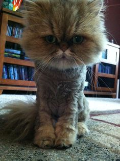 Persian Cat Haircut Teacup Persian Fiona with a haircut! I Love Cats, Cool Cats, Munchkin Cat Scottish Fold, Cat Haircut, Cat Online, Cat Allergies, Himalayan Cat, Unique Cats, Cat Grooming