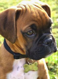 "10 Most Family Friendly Dog Breeds_BOXERS Hope you're doing  your friends at phoenix dog in home dog training""k9katelynn"" see more about Scottsdale dog training at  Pinterest with over 20,900 followers! Google plus with over 180,000 views! You tube with over 500 videos and 60,000 views!! LinkedIn over 9,300 associates! Proudly Serving the valley for 11 years! Now on instant gram for only a month with over 1100 followers! K9katelynn Family Friendly Dogs, Friendly Dog Breeds, Good Family Dogs, Family Family, Boxer And Baby, Boxer Love, Boxer Mix, Beautiful Dogs, Animals Beautiful"
