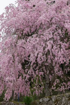 I have a Weeping Cherry Tree in the backyard...wish it looked like this!! (mkc via Chikako Asai)