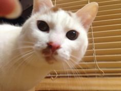 are you there?hello?  #cat #pet #petsitter #setagayaku #cute #かわいい #猫 #白猫