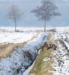 Reeën, Bronnergerveen, Drenthe.