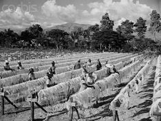 """""""A sisal plant in Port au Prince, Haiti, in the year 1951, producing the fiber for the United States Department of Defense. According to historical records, the sisal industry in Haiti employed about 15,000 workers in Haiti, who produced at the very least 40,000 tons of fiber for U.S. defense programs."""""""
