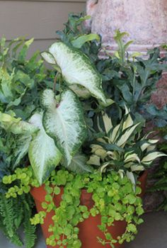 Tropical plants, caladiums, creeping jenny, and hostas.  Fill your container with all this beauty and see what happens.