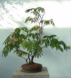 exotische wohnzimmer zimmerpflanzen mimosa-bonsai-rosa-bluehen