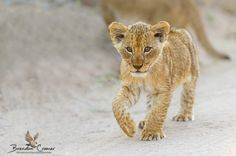 "Lion Cub - One of 3 little lion cubs we had the privilege of spending some time with on a recent photo safari to Elephant Plains Game Lodge with ODP Safaris  <a href=""http://www.brendoncremer.com/photographic-safaris#.U_MXFoCSyw8"">PHOTO SAFARIS</a> 