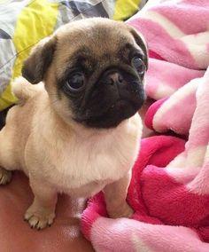 Mi cara cuando quiero pizza y tacos... #Pug #Cara #Taco #Pizzas #Animal #Babies #Puppies #Dog #PugLife