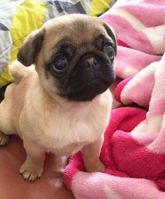 I need another baby pug.
