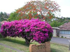 Bougainvillea [Family: Nyctaginaceae] grown, here, as a hedge that is profusely in bloom