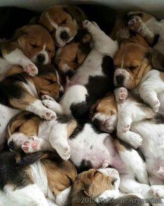 Bundle of beagles ❤️