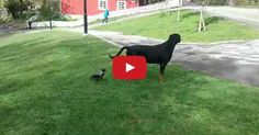 news sneaky crow plays with dogs tail