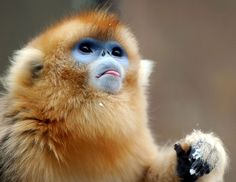 The golden monkey (Cercopithecus kandti) is a species of Old World monkey found in the Virunga volcanic mountains of Central Africa, including four national parks: Mgahinga, in south-west Uganda; Volcanoes, in north-west Rwanda; and Virunga and Kahuzi-Biéga, in the eastern Democratic Republic of Congo. It is restricted to highland forest, especially near bamboo.