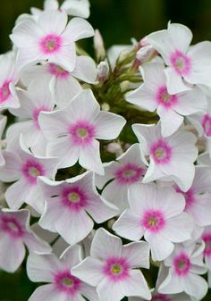 Phlox 'Miss Holland' Flowers Nature, Beautiful Flowers, Phlox Flowers, White Flowers, Garden Spells, Ornamental Cabbage, Holland, Exotic Plants, Flower Beds
