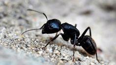 Une infestation de fourmis charpentière peut être un véritable cauchemar. Voici quelques trucs pour vous débarrasser de ce type de fourmis.