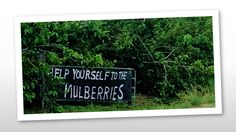 Help yourself to the Mulberry's.  Blessings come in all shapes and sizes, it is important that we don't miss them.