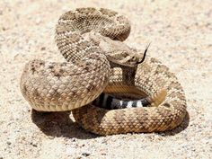 La serpiente de Cascabel es una de las más famosas del mundo y es conocida por su sonido característico que produce con su cola. Terriblemente mortal.