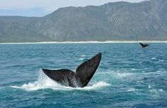 Whale Watching on The Garden Route ~Saved by Chantelle Marais