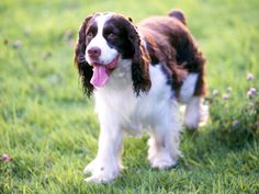 English Springer Spaniel <3. Looks so much like Maggie. She doesn't get around too well these days, but I imagine ever having another dog who loves me so well.