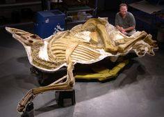 """One of the famous Brachylophosaura of Malta, Montana.  This is """"Roberta"""" but they also have """"Leonardo"""", listed in the Guiness Book of Records as the world's best preserved dinosaur: with intact skin, muscle and internal organs.  Nate Murphy, the paleontologist who discovered them is pictured here but later went to jail for unrealted charges involving fossil theft."""