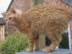 The Laperm Cat