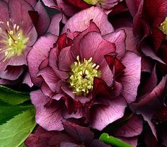 True Love Lenten Rose ~ Helleborus 'True Love' Wedding Party Series. 'True Love' bears rich maroon red, 8-9cm double flowers. Forms a low clump, but when the plants are in bloom, they reach a height up to 2ft. Blooms early to midspring. Plant in rich, moist, well-drained soil. Part to full shade.
