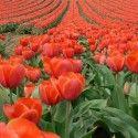 Tulip Fields , Amsterdam , Netherlands