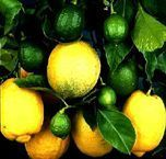 Eureka lemon tree - try to find dwarf version as standard can grow to 5m! Too big.