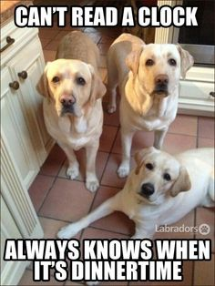 These Labs can't read a clock Always knows when it's dinner time Always! #funnydogs