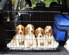 this is some of Faye Ivy Wild's Welshie pups in the back of Marion's car - Marion is the breeder of Briallen - go with her if showing your Welshie.
