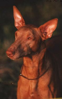 pharaoh hound photo | Pharaoh Hound dog breed infromation, pictures, recognition etc.