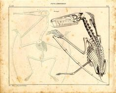 Like the other prehistoric flyers, Pterodactylus is not a dinosaur. Also like most of the other flyers, its bones were hollow, and hollow bones, of course, reduce the weight of a flying animal. Pterodactylus is one of the smaller flyers, and probably ate insects, which it caught in flight, while its giant relative Quetalcoatlus, the largest known flying animal of all time, had a wingspan of about forty feet.