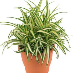 Plantas que purificam o ar. O Clorofito precisa de muita luz e de pouca exposição ao sol (no inverno). Regue diariamente no verão, mas modere nos dias frios.
