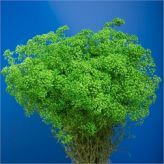 Buy wholesale Gypsophila dyed green for delivery direct to any UK address - wholesaled in Batches of 25 stems. Ideal for wedding flowers, floral design & corporate events. No minimum order required - Floral accessories also available. Cut Flowers, Fresh Flowers, Florist Supplies, Gypsophila, Wedding Flowers, Floral Design, Things To Come, Bloom, Herbs
