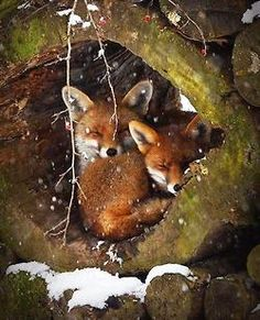 spritesworldofnature:  Sleeping Foxes