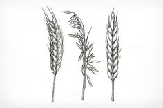 Crops, wheat and oat sketches @creativework247