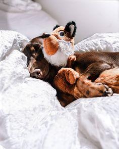 Ebben a szörnyű időben nincs is jobb, mint összebújni valakivel és szundítani egy nagyot! 💕 Ti inkább egyedül szerettek aludni vagy a gazdival? 😴 . . . . . #dachshund #dogsinbed #dognap #sleepypuppy #kutyasbagazs #sleepingdog #cuddlebuddy #snugglebuddy #snuggletime #szekesfehervar #kutyasbagazs #kutya #sausagedog #minidachshund #dachshundlife #sausagedogcentral #sausagedoglove #dachshund_world #dachshund_feature #bigsausagerolls #weeklyfluff #featuremydoxie #hundogstagram #lazydogg Cuddle Buddy, Mini Dachshund, Sleeping Dogs, Dog Bed, Snuggles, Instagram Feed, Puppies, Animals, Cubs