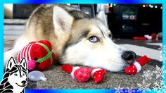 HUSKY REACTS TO CHRISTMAS TOY   Destruction of Christmas Present by Dog