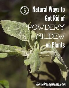 5 Natural Ways to Get Rid of Powdery Mildew on Plants