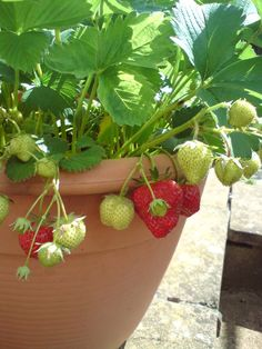 Potted Strawberries for the urban garden