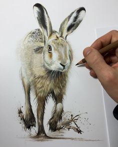 Hare. Wildlife and Domestic Animal Drawings. By Paul miller.