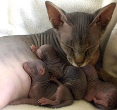 Beautiful Sphynx mama cat naps with her kittens Pretty Cats, Beautiful Cats, Animals Beautiful, Beautiful Family, I Love Cats, Crazy Cats, Cool Cats, Baby Kittens, Cats And Kittens