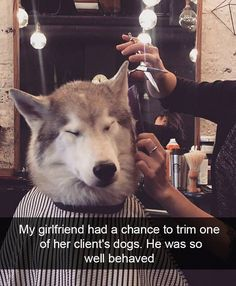 My girlfriend had a chance to trim one of her client's dogs. He was so well behaved. Cute Funny Animals, Funny Animal Pictures, Dog Pictures, Funny Dogs, Funny Kitties, Funny Horses, Adorable Kittens, Kitty Cats, Cute Puppies