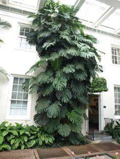 Tall Indoor Plants, Outdoor Plants, Monstera Deliciosa, Exotic Plants, Tropical Plants, Indoor Garden, Garden Plants, Diy Plante, Decoration Plante