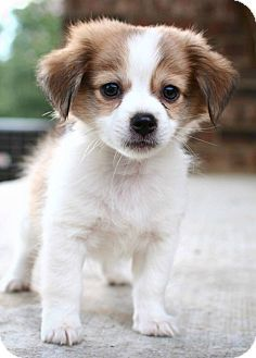 Chihuahua Pomeranian Mix Google Search Puppies Teacup Cute